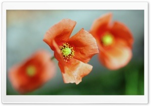 Poppy Flower Focus HD Wide Wallpaper for Widescreen
