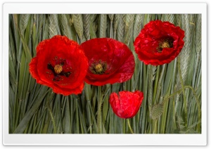 Poppy Flowers HD Wide Wallpaper for Widescreen