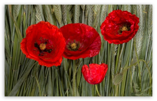 Poppy Flowers ❤ 4K UHD Wallpaper for Wide 16:10 5:3 Widescreen WHXGA WQXGA WUXGA WXGA WGA ; UltraWide 21:9 24:10 ; 4K UHD 16:9 Ultra High Definition 2160p 1440p 1080p 900p 720p ; UHD 16:9 2160p 1440p 1080p 900p 720p ; Standard 4:3 5:4 3:2 Fullscreen UXGA XGA SVGA QSXGA SXGA DVGA HVGA HQVGA ( Apple PowerBook G4 iPhone 4 3G 3GS iPod Touch ) ; Smartphone 16:9 3:2 5:3 2160p 1440p 1080p 900p 720p DVGA HVGA HQVGA ( Apple PowerBook G4 iPhone 4 3G 3GS iPod Touch ) WGA ; iPad 1/2/Mini ; Mobile 4:3 5:3 3:2 16:9 5:4 - UXGA XGA SVGA WGA DVGA HVGA HQVGA ( Apple PowerBook G4 iPhone 4 3G 3GS iPod Touch ) 2160p 1440p 1080p 900p 720p QSXGA SXGA ; Dual 16:10 5:3 16:9 4:3 5:4 3:2 WHXGA WQXGA WUXGA WXGA WGA 2160p 1440p 1080p 900p 720p UXGA XGA SVGA QSXGA SXGA DVGA HVGA HQVGA ( Apple PowerBook G4 iPhone 4 3G 3GS iPod Touch ) ;