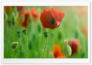 Poppy Macro HD Wide Wallpaper for Widescreen