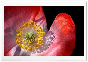 Poppy Macro Ultra HD Wallpaper for 4K UHD Widescreen desktop, tablet & smartphone