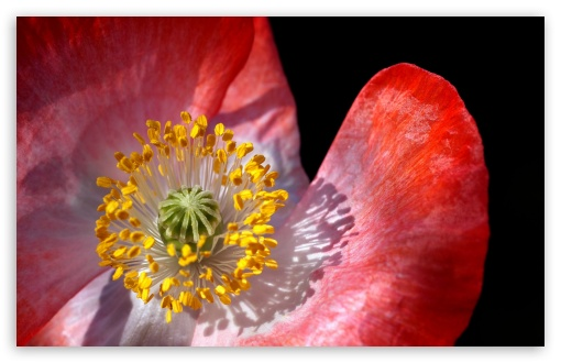 Poppy Macro HD wallpaper for Wide 16:10 5:3 Widescreen WHXGA WQXGA WUXGA WXGA WGA ; HD 16:9 High Definition WQHD QWXGA 1080p 900p 720p QHD nHD ; Standard 4:3 5:4 3:2 Fullscreen UXGA XGA SVGA QSXGA SXGA DVGA HVGA HQVGA devices ( Apple PowerBook G4 iPhone 4 3G 3GS iPod Touch ) ; Smartphone 5:3 WGA ; Tablet 1:1 ; iPad 1/2/Mini ; Mobile 4:3 5:3 3:2 16:9 5:4 - UXGA XGA SVGA WGA DVGA HVGA HQVGA devices ( Apple PowerBook G4 iPhone 4 3G 3GS iPod Touch ) WQHD QWXGA 1080p 900p 720p QHD nHD QSXGA SXGA ;