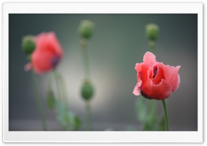 Poppy Photography HD Wide Wallpaper for Widescreen