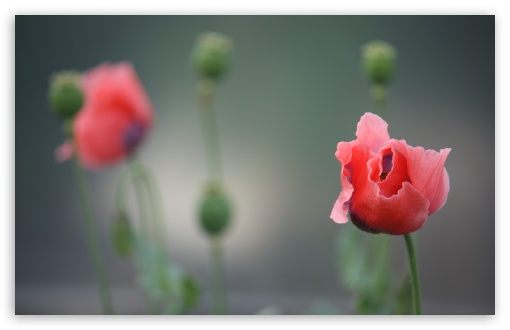 Poppy Photography HD wallpaper for Wide 16:10 5:3 Widescreen WHXGA WQXGA WUXGA WXGA WGA ; HD 16:9 High Definition WQHD QWXGA 1080p 900p 720p QHD nHD ; Standard 4:3 5:4 3:2 Fullscreen UXGA XGA SVGA QSXGA SXGA DVGA HVGA HQVGA devices ( Apple PowerBook G4 iPhone 4 3G 3GS iPod Touch ) ; Tablet 1:1 ; iPad 1/2/Mini ; Mobile 4:3 5:3 3:2 16:9 5:4 - UXGA XGA SVGA WGA DVGA HVGA HQVGA devices ( Apple PowerBook G4 iPhone 4 3G 3GS iPod Touch ) WQHD QWXGA 1080p 900p 720p QHD nHD QSXGA SXGA ;