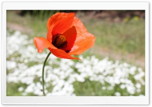 Poppy Seed Flower HD Wide Wallpaper for Widescreen
