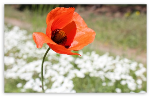 Poppy Seed Flower ❤ 4K UHD Wallpaper for Wide 16:10 5:3 Widescreen WHXGA WQXGA WUXGA WXGA WGA ; UltraWide 21:9 24:10 ; 4K UHD 16:9 Ultra High Definition 2160p 1440p 1080p 900p 720p ; UHD 16:9 2160p 1440p 1080p 900p 720p ; Standard 4:3 5:4 3:2 Fullscreen UXGA XGA SVGA QSXGA SXGA DVGA HVGA HQVGA ( Apple PowerBook G4 iPhone 4 3G 3GS iPod Touch ) ; Smartphone 16:9 3:2 5:3 2160p 1440p 1080p 900p 720p DVGA HVGA HQVGA ( Apple PowerBook G4 iPhone 4 3G 3GS iPod Touch ) WGA ; Tablet 1:1 ; iPad 1/2/Mini ; Mobile 4:3 5:3 3:2 16:9 5:4 - UXGA XGA SVGA WGA DVGA HVGA HQVGA ( Apple PowerBook G4 iPhone 4 3G 3GS iPod Touch ) 2160p 1440p 1080p 900p 720p QSXGA SXGA ;
