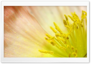 Poppy Yellow Stamens HD Wide Wallpaper for Widescreen