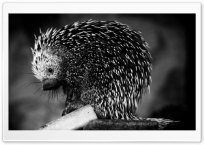 Porcupine HD Wide Wallpaper for Widescreen