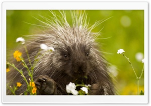 Porcupine And Wildflowers California HD Wide Wallpaper for Widescreen