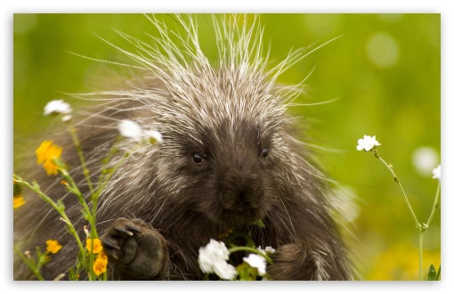 Porcupine And Wildflowers California ❤ 4K UHD Wallpaper for Wide 16:10 5:3 Widescreen WHXGA WQXGA WUXGA WXGA WGA ; Standard 4:3 5:4 3:2 Fullscreen UXGA XGA SVGA QSXGA SXGA DVGA HVGA HQVGA ( Apple PowerBook G4 iPhone 4 3G 3GS iPod Touch ) ; Tablet 1:1 ; iPad 1/2/Mini ; Mobile 4:3 5:3 3:2 16:9 5:4 - UXGA XGA SVGA WGA DVGA HVGA HQVGA ( Apple PowerBook G4 iPhone 4 3G 3GS iPod Touch ) 2160p 1440p 1080p 900p 720p QSXGA SXGA ;