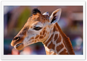 Portrait of a Baby Giraffe HD Wide Wallpaper for 4K UHD Widescreen desktop & smartphone