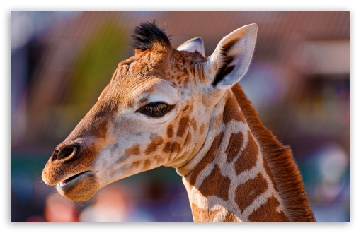 Portrait of a Baby Giraffe ❤ 4K UHD Wallpaper for Wide 16:10 5:3 Widescreen WHXGA WQXGA WUXGA WXGA WGA ; 4K UHD 16:9 Ultra High Definition 2160p 1440p 1080p 900p 720p ; Standard 4:3 5:4 3:2 Fullscreen UXGA XGA SVGA QSXGA SXGA DVGA HVGA HQVGA ( Apple PowerBook G4 iPhone 4 3G 3GS iPod Touch ) ; Tablet 1:1 ; iPad 1/2/Mini ; Mobile 4:3 5:3 3:2 16:9 5:4 - UXGA XGA SVGA WGA DVGA HVGA HQVGA ( Apple PowerBook G4 iPhone 4 3G 3GS iPod Touch ) 2160p 1440p 1080p 900p 720p QSXGA SXGA ; Dual 16:10 5:3 16:9 4:3 5:4 WHXGA WQXGA WUXGA WXGA WGA 2160p 1440p 1080p 900p 720p UXGA XGA SVGA QSXGA SXGA ;