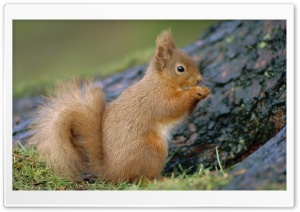 Portrait Of Red Squirrel Eating Sciurus Vulgaris Scotland Uk HD Wide Wallpaper for Widescreen