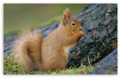 Portrait Of Red Squirrel Eating Sciurus Vulgaris Scotland Uk HD wallpaper for Wide 16:10 5:3 Widescreen WHXGA WQXGA WUXGA WXGA WGA ; HD 16:9 High Definition WQHD QWXGA 1080p 900p 720p QHD nHD ; Standard 4:3 5:4 3:2 Fullscreen UXGA XGA SVGA QSXGA SXGA DVGA HVGA HQVGA devices ( Apple PowerBook G4 iPhone 4 3G 3GS iPod Touch ) ; Tablet 1:1 ; iPad 1/2/Mini ; Mobile 4:3 5:3 3:2 16:9 5:4 - UXGA XGA SVGA WGA DVGA HVGA HQVGA devices ( Apple PowerBook G4 iPhone 4 3G 3GS iPod Touch ) WQHD QWXGA 1080p 900p 720p QHD nHD QSXGA SXGA ;