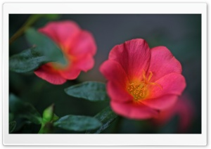 Portulaca Flowers HD Wide Wallpaper for Widescreen