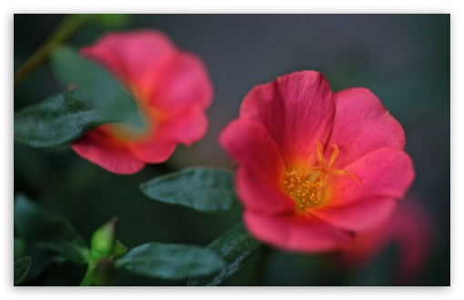 Portulaca Flowers ❤ 4K UHD Wallpaper for Wide 16:10 5:3 Widescreen WHXGA WQXGA WUXGA WXGA WGA ; 4K UHD 16:9 Ultra High Definition 2160p 1440p 1080p 900p 720p ; UHD 16:9 2160p 1440p 1080p 900p 720p ; Standard 4:3 5:4 3:2 Fullscreen UXGA XGA SVGA QSXGA SXGA DVGA HVGA HQVGA ( Apple PowerBook G4 iPhone 4 3G 3GS iPod Touch ) ; Smartphone 5:3 WGA ; Tablet 1:1 ; iPad 1/2/Mini ; Mobile 4:3 5:3 3:2 16:9 5:4 - UXGA XGA SVGA WGA DVGA HVGA HQVGA ( Apple PowerBook G4 iPhone 4 3G 3GS iPod Touch ) 2160p 1440p 1080p 900p 720p QSXGA SXGA ;