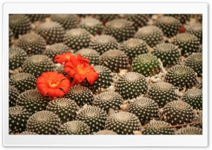 Potted Cactus HD Wide Wallpaper for Widescreen