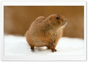 Prairie Dog In Snow HD Wide Wallpaper for 4K UHD Widescreen desktop & smartphone