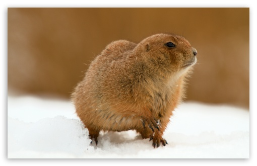 Prairie Dog In Snow HD wallpaper for Wide 16:10 5:3 Widescreen WHXGA WQXGA WUXGA WXGA WGA ; HD 16:9 High Definition WQHD QWXGA 1080p 900p 720p QHD nHD ; UHD 16:9 WQHD QWXGA 1080p 900p 720p QHD nHD ; Standard 4:3 5:4 3:2 Fullscreen UXGA XGA SVGA QSXGA SXGA DVGA HVGA HQVGA devices ( Apple PowerBook G4 iPhone 4 3G 3GS iPod Touch ) ; Tablet 1:1 ; iPad 1/2/Mini ; Mobile 4:3 5:3 3:2 16:9 5:4 - UXGA XGA SVGA WGA DVGA HVGA HQVGA devices ( Apple PowerBook G4 iPhone 4 3G 3GS iPod Touch ) WQHD QWXGA 1080p 900p 720p QHD nHD QSXGA SXGA ;