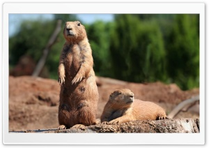 Prairie Dogs HD Wide Wallpaper for Widescreen
