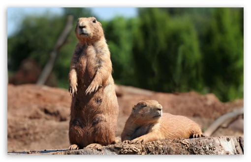 Prairie Dogs UltraHD Wallpaper for Wide 16:10 5:3 Widescreen WHXGA WQXGA WUXGA WXGA WGA ; 8K UHD TV 16:9 Ultra High Definition 2160p 1440p 1080p 900p 720p ; Standard 4:3 5:4 3:2 Fullscreen UXGA XGA SVGA QSXGA SXGA DVGA HVGA HQVGA ( Apple PowerBook G4 iPhone 4 3G 3GS iPod Touch ) ; Tablet 1:1 ; iPad 1/2/Mini ; Mobile 4:3 5:3 3:2 16:9 5:4 - UXGA XGA SVGA WGA DVGA HVGA HQVGA ( Apple PowerBook G4 iPhone 4 3G 3GS iPod Touch ) 2160p 1440p 1080p 900p 720p QSXGA SXGA ;
