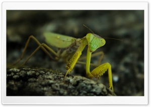 Praying Mantis, Nature HD Wide Wallpaper for 4K UHD Widescreen desktop & smartphone