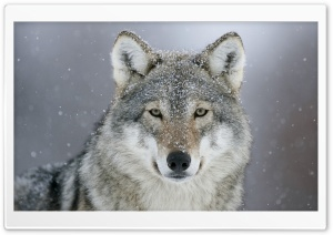 Predator Wolf Snow HD Wide Wallpaper for Widescreen