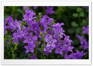 Pretty Purple Flowers HD Wide Wallpaper for Widescreen