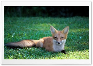 Pretty Red Fox HD Wide Wallpaper for Widescreen