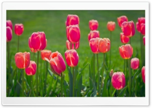 Pretty Tulips Flowers HD Wide Wallpaper for Widescreen