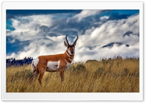 Pronghorn Antelope HD Wide Wallpaper for Widescreen