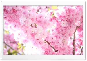 Prunus Flowers HD Wide Wallpaper for Widescreen