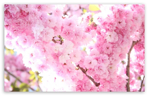 Prunus Flowers HD wallpaper for Wide 16:10 5:3 Widescreen WHXGA WQXGA WUXGA WXGA WGA ; HD 16:9 High Definition WQHD QWXGA 1080p 900p 720p QHD nHD ; Standard 4:3 5:4 3:2 Fullscreen UXGA XGA SVGA QSXGA SXGA DVGA HVGA HQVGA devices ( Apple PowerBook G4 iPhone 4 3G 3GS iPod Touch ) ; Tablet 1:1 ; iPad 1/2/Mini ; Mobile 4:3 5:3 3:2 16:9 5:4 - UXGA XGA SVGA WGA DVGA HVGA HQVGA devices ( Apple PowerBook G4 iPhone 4 3G 3GS iPod Touch ) WQHD QWXGA 1080p 900p 720p QHD nHD QSXGA SXGA ; Dual 16:10 5:3 16:9 4:3 5:4 WHXGA WQXGA WUXGA WXGA WGA WQHD QWXGA 1080p 900p 720p QHD nHD UXGA XGA SVGA QSXGA SXGA ;