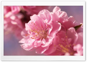 Prunus Flowers Macro HD Wide Wallpaper for Widescreen