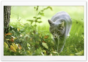 Puffy Grey Cat HD Wide Wallpaper for Widescreen