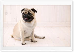 Pug HD Wide Wallpaper for 4K UHD Widescreen desktop & smartphone
