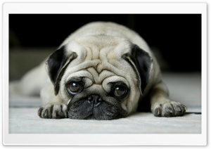 Pug HD Wide Wallpaper for Widescreen