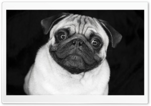 Pug In Black And White HD Wide Wallpaper for Widescreen