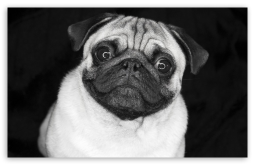 Pug In Black And White HD wallpaper for Wide 16:10 5:3 Widescreen WHXGA WQXGA WUXGA WXGA WGA ; HD 16:9 High Definition WQHD QWXGA 1080p 900p 720p QHD nHD ; Standard 4:3 5:4 3:2 Fullscreen UXGA XGA SVGA QSXGA SXGA DVGA HVGA HQVGA devices ( Apple PowerBook G4 iPhone 4 3G 3GS iPod Touch ) ; iPad 1/2/Mini ; Mobile 4:3 5:3 3:2 16:9 5:4 - UXGA XGA SVGA WGA DVGA HVGA HQVGA devices ( Apple PowerBook G4 iPhone 4 3G 3GS iPod Touch ) WQHD QWXGA 1080p 900p 720p QHD nHD QSXGA SXGA ;