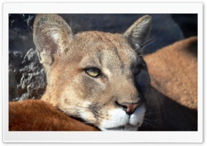 Puma Portrait HD Wide Wallpaper for Widescreen