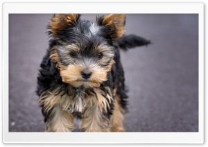 Puppy Ultra HD Wallpaper for 4K UHD Widescreen desktop, tablet & smartphone