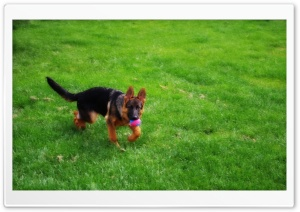 Puppy at Play HD Wide Wallpaper for Widescreen