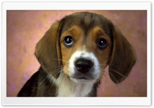 Puppy Eyes Beagle HD Wide Wallpaper for 4K UHD Widescreen desktop & smartphone