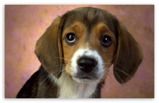 Puppy Eyes Beagle HD wallpaper for Wide 16:10 5:3 Widescreen WHXGA WQXGA WUXGA WXGA WGA ; HD 16:9 High Definition WQHD QWXGA 1080p 900p 720p QHD nHD ; Other 3:2 DVGA HVGA HQVGA devices ( Apple PowerBook G4 iPhone 4 3G 3GS iPod Touch ) ; Mobile WVGA iPhone PSP - WVGA WQVGA Smartphone ( HTC Samsung Sony Ericsson LG Vertu MIO ) HVGA Smartphone ( Apple iPhone iPod BlackBerry HTC Samsung Nokia ) Sony PSP Zune HD Zen ;