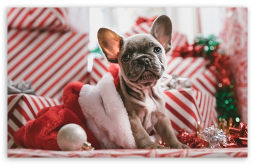 Puppy Present Christmas HD wallpaper for Wide 16:10 5:3 Widescreen WHXGA WQXGA WUXGA WXGA WGA ; HD 16:9 High Definition WQHD QWXGA 1080p 900p 720p QHD nHD ; Standard 4:3 3:2 Fullscreen UXGA XGA SVGA DVGA HVGA HQVGA devices ( Apple PowerBook G4 iPhone 4 3G 3GS iPod Touch ) ; iPad 1/2/Mini ; Mobile 4:3 5:3 3:2 16:9 - UXGA XGA SVGA WGA DVGA HVGA HQVGA devices ( Apple PowerBook G4 iPhone 4 3G 3GS iPod Touch ) WQHD QWXGA 1080p 900p 720p QHD nHD ;
