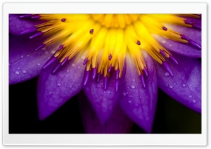Purple And Yellow Petals HD Wide Wallpaper for Widescreen
