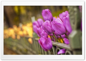 Purple And Yellow Tulips HD Wide Wallpaper for Widescreen