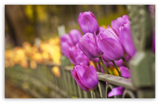 Purple And Yellow Tulips HD wallpaper for Wide 16:10 5:3 Widescreen WHXGA WQXGA WUXGA WXGA WGA ; HD 16:9 High Definition WQHD QWXGA 1080p 900p 720p QHD nHD ; Standard 4:3 5:4 3:2 Fullscreen UXGA XGA SVGA QSXGA SXGA DVGA HVGA HQVGA devices ( Apple PowerBook G4 iPhone 4 3G 3GS iPod Touch ) ; Tablet 1:1 ; iPad 1/2/Mini ; Mobile 4:3 5:3 3:2 16:9 5:4 - UXGA XGA SVGA WGA DVGA HVGA HQVGA devices ( Apple PowerBook G4 iPhone 4 3G 3GS iPod Touch ) WQHD QWXGA 1080p 900p 720p QHD nHD QSXGA SXGA ;