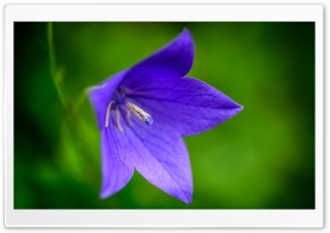 Purple Bellflower Macro HD Wide Wallpaper for Widescreen