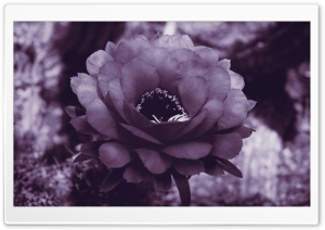 Purple Cactus Blossom HD Wide Wallpaper for Widescreen